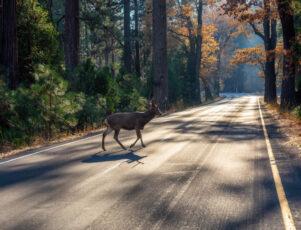 Animal salvaje cruzando una carretera